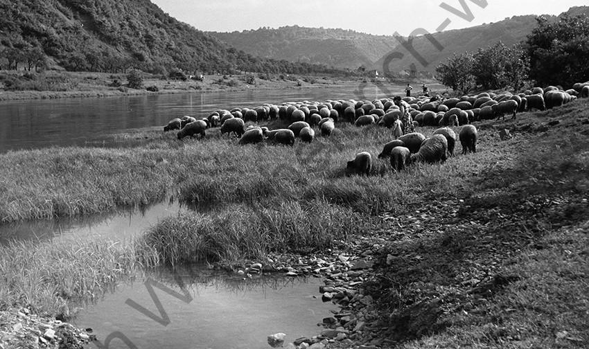Lehmen, Schafherde am Moselufer, in Höhe der heutigen Staustufe , 1955, Heinrich Wolf Frühling an der Mosel